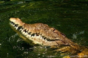 crocodile in Jamaica